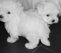 jelly-tots-pups